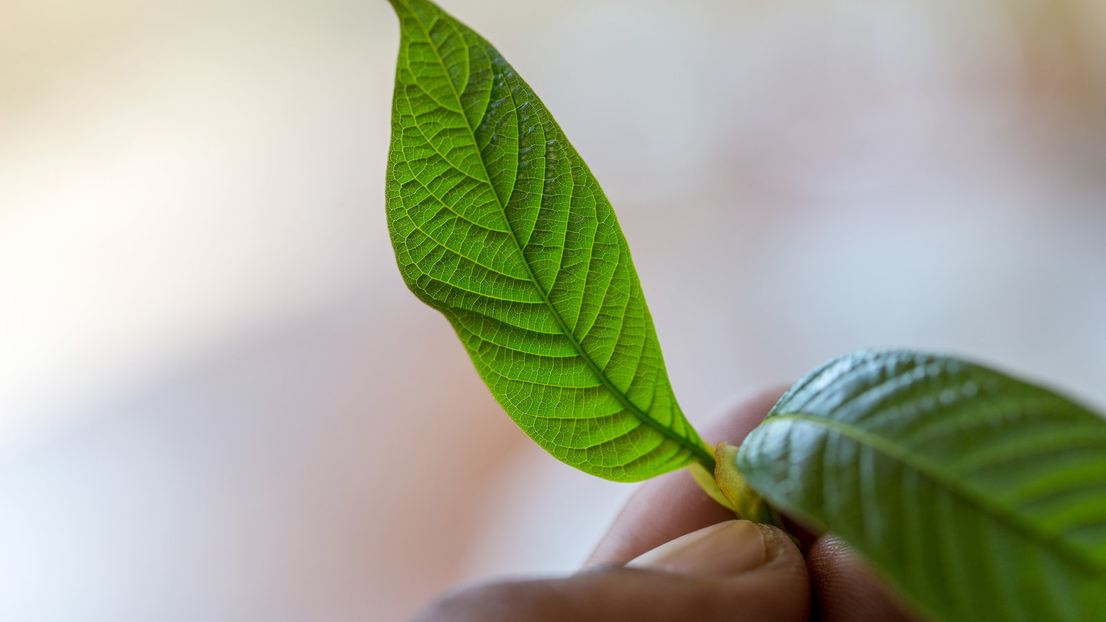 Kratom – the most common questions